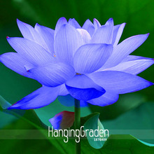Buy Blue Lotus And Get Free Shipping On Aliexpresscom