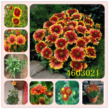 100 Pack Chrysanthemum Gaillardia Pulchella Rare Beauty Flowers Home & Garden Plant Special color Flower gaillardia bonsai(China)