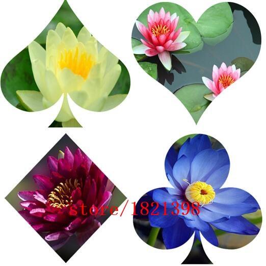 5 seeds / pack, Dark Purple Water Lily seeds Pond Plan