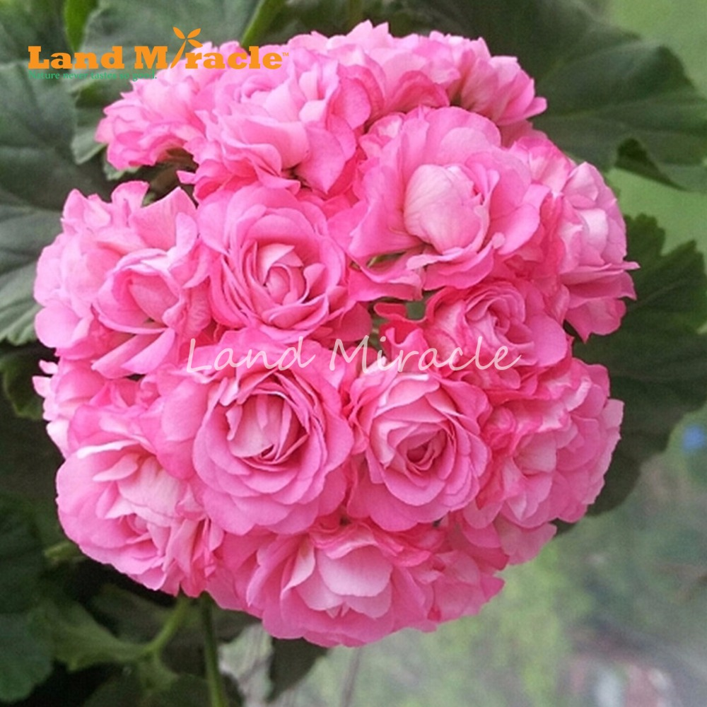 Hot Sale Land Miracle 5pcs Geranium Rose Pink Rosebud Perennial