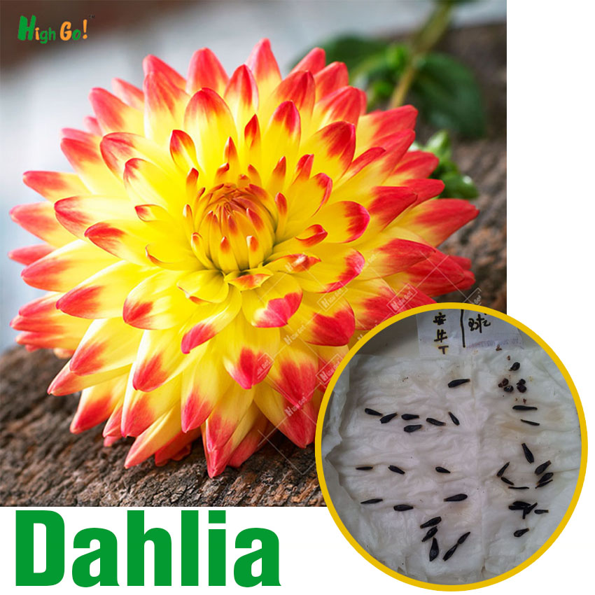 20pcs Dahlia Mexico' National Flower Garden Plants