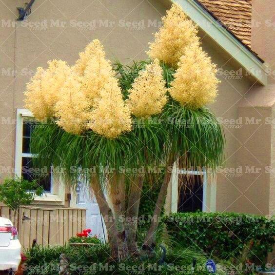 10 pcs poney queue palmier graines exotiques plantes for Plantes ornement jardin