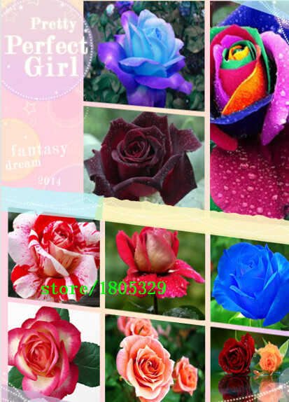 100pcs/bag New Rose Seeds,8 Different Colors Rare Osiri