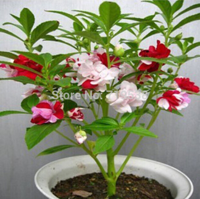 Mehndi Plant Flower : Compare prices on henna plant seeds online shopping buy
