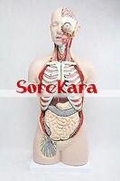 85 см анатомии человека Средства ухода за кожей магистрали разрез Органы внутренностей Спецодежда медицинская Книги по искусству Teach модель