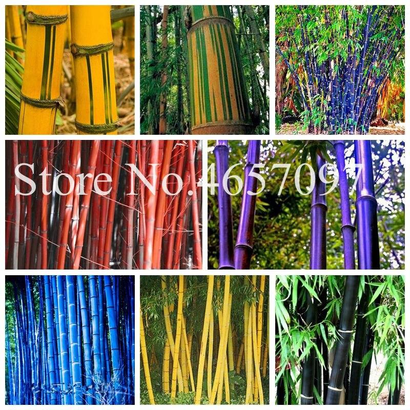 Cheap 30 Pcs Rare Moso Bamboo Bonsai Bambusa Vulgaris 'Wamin' (Golden Bamboo; Buddha's Belly Bamboo) Perennial Ornamental Plants