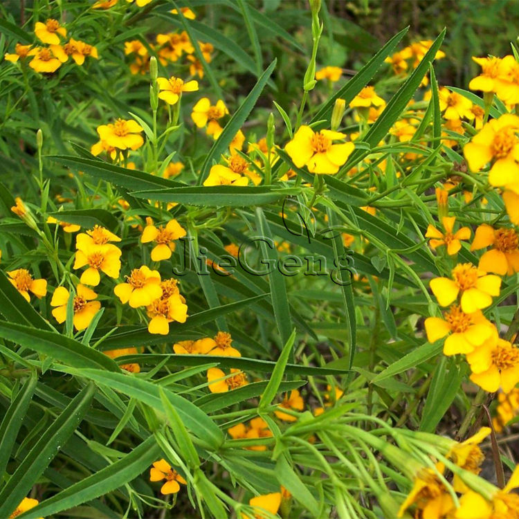 utilization of marigold extract as household Commercially prepared marigold flower (tagetes erecta) extract was saponified  and analyzed for carotenoid composition hplc analyses were performed on.