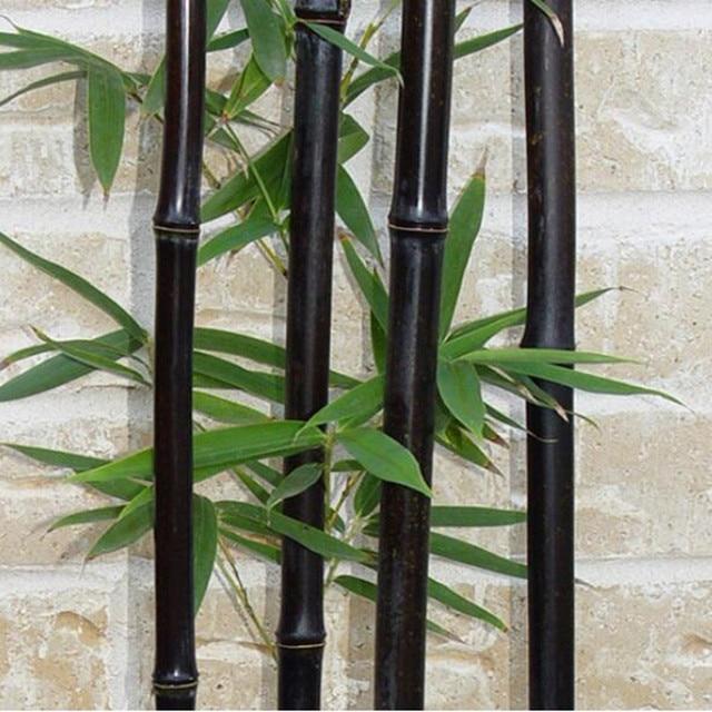 20 Bamboo Seeds Rare Giant Black Moso Bambu Professional Pack Bambusa Lako Tree