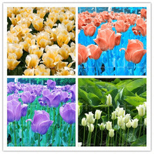 Promotion!!!C100pcs Perfume Tulip Seed High-grade Flower Bonsai Seeds, Most Beautiful and Colorful Tulip Plants Perennial Home