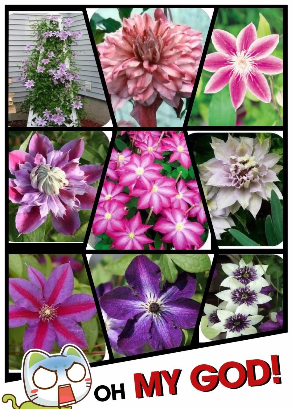 웃 유Bombillas clematis, clematis semillas mix, clematis hybridas ...