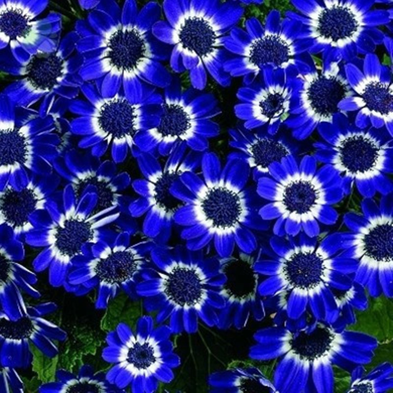 aliexpress  buy free shipping  blue daisy,blue cineraria, Beautiful flower