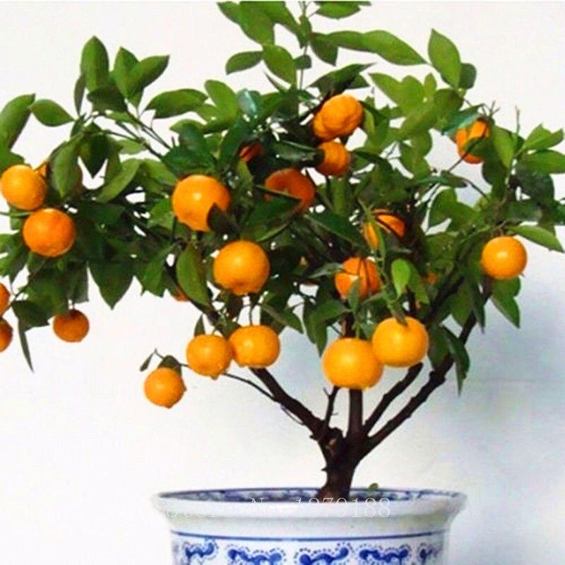 30 Pcs Fruit Seeds Orange Tree Dwarf Washington Navel Grow