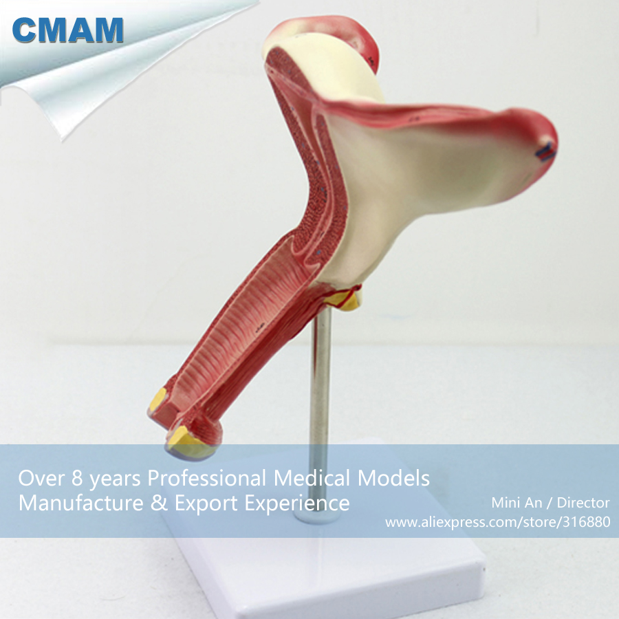 CMAM-ANATOMY06 Anatomical model of Female Internal Genital Organs Anatomical Model free shipping hangkai 2 stroke 4 hp outboard engines crankshaft