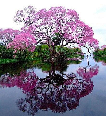 500 pz/borsa bonsai paulonia, Reale Empress Albero (Paulownia tomentosa), ourdoor di piante da fiore giardino di casa piante in vaso di fiori