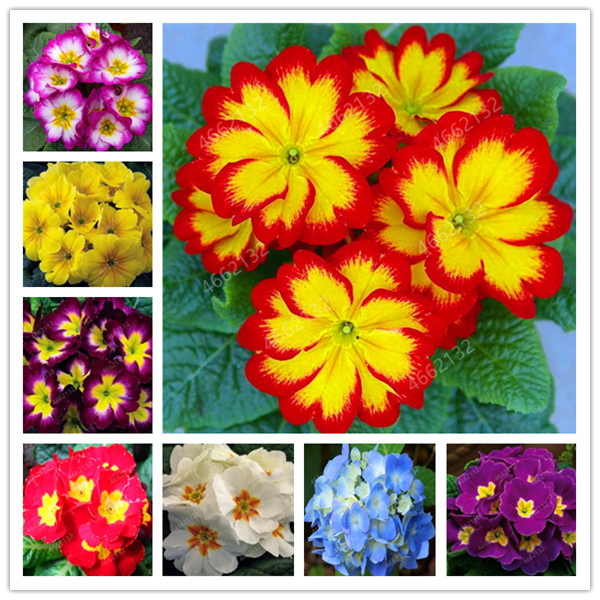 100 Pcs 100% True Europe Primula Acaulis Bonsai Primrose Indoor Bonsai Flower Seedsplants For Home Garden Radiation Absorption