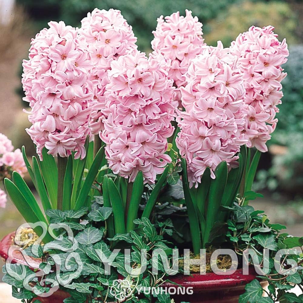 True Hyacinth Bulbswater Hyacinth Flower Bulbsperennial Flower