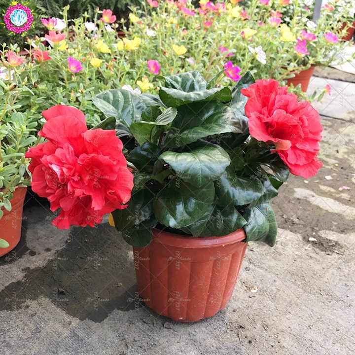 100 шт./пакет гигантские двойные лепестки Гибискус завод редкий синий гибискус бонсай цветок семена многолетника для внутренних помещений завод для домашнего сада