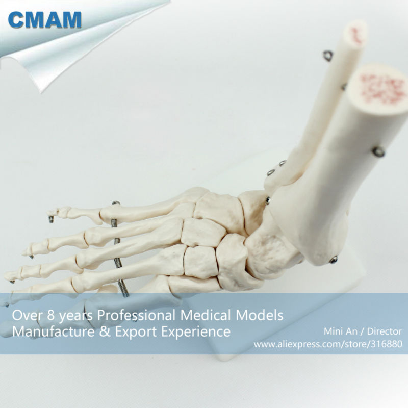 CMAM113, Life-Size Foot Joint, Individual Packs, anatomy models, - School en educatieve benodigdheden - Foto 1
