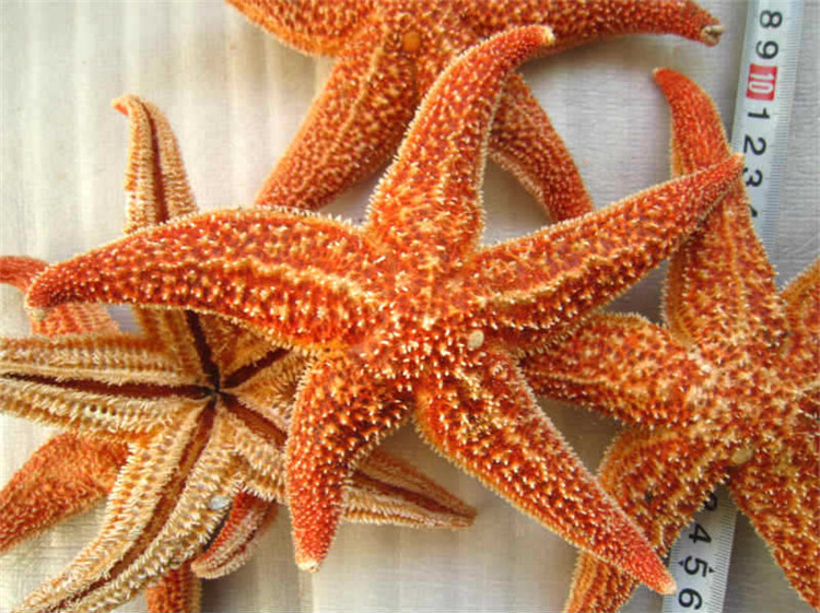 2PCS/Lot 16CM Natural Starfish Natural Thorns Sea Starfish Dried Specimens Beidaihe Shell Mediterranean Style Wedding Decoration