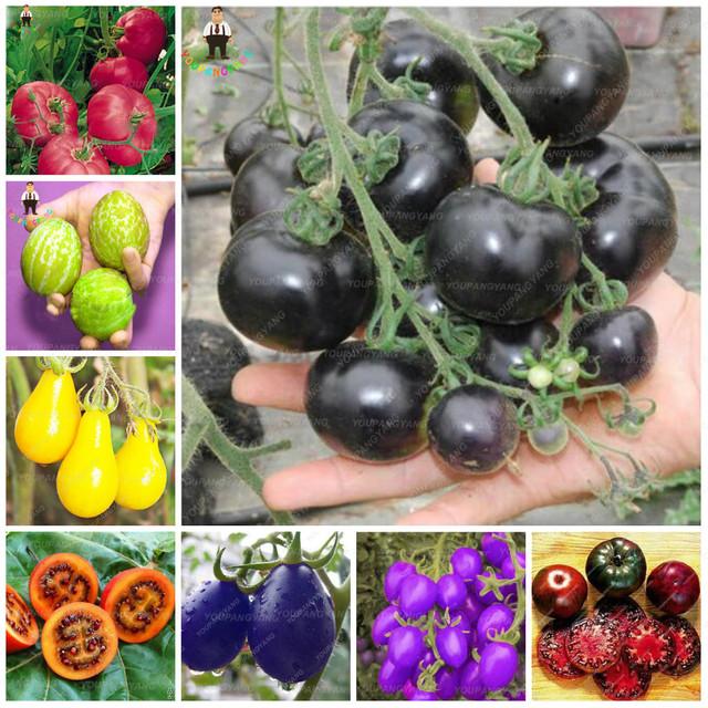 100 pcs 24kinds Nutritious Tomato bonsai Rare Huge tomato plant Bonsai Organic Vegetable fruit Potted plant for Home Gardens