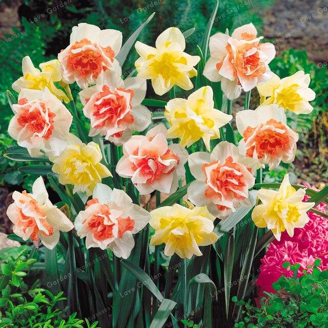 100 Pcs Narcisse Fleur Jonquille Plante Bonsai Plantes Double