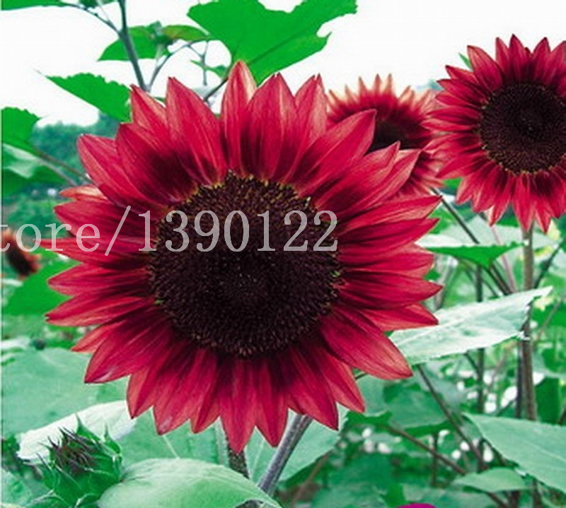 40 Pcs Mini Helianthus Red Sunflower Seeds Draft Red Sun Fortune Bloom Garden Heirloom Seeds
