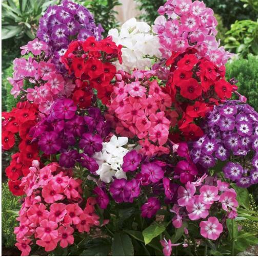 Potted Family garden decoration flower seed Hot shot fl