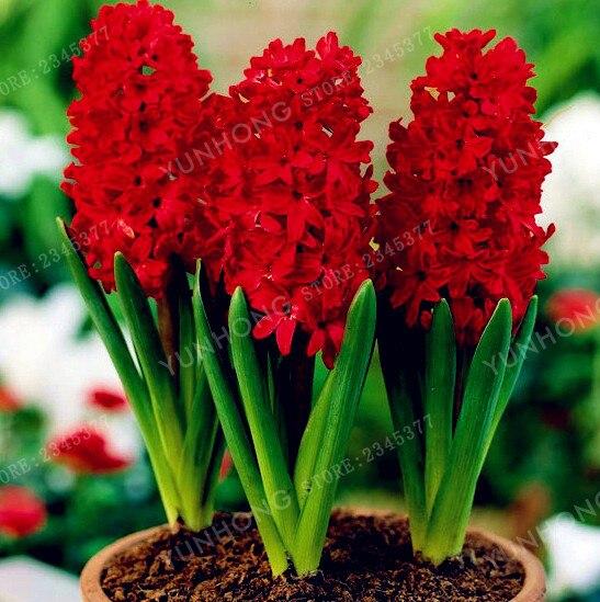 1 Pcs/ Bag. red hyacinth bulb, hyacinths flower pots bo
