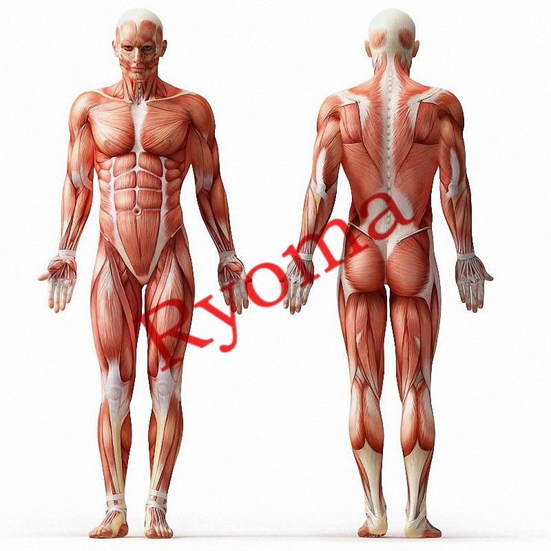 biggest muscles in the human body - HD8000×8000