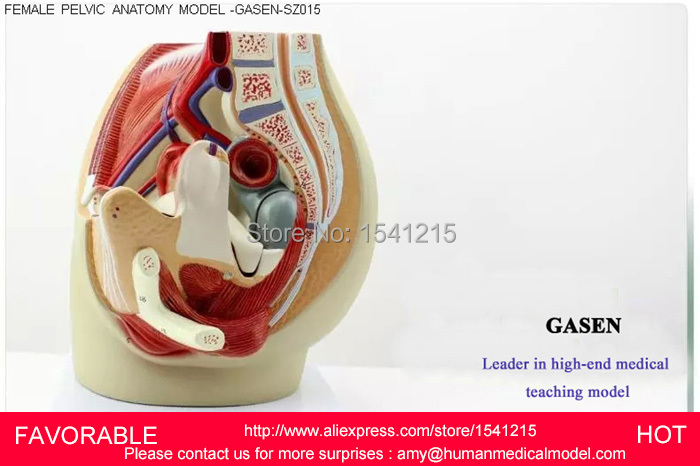 Reproductive Modelfemale Pelvis Anatomical Reproductive Organ