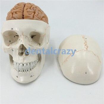 New skull model brain neurology craniocerebral anatomy model with digital number mark education head model tools