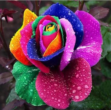 PCS Beautiful Flower Rainbow rose seed Rose Seeds