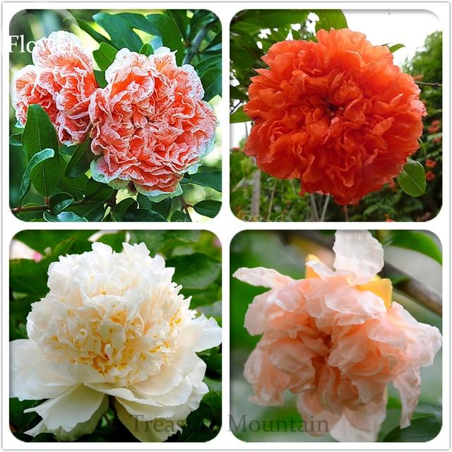 BELLFARM Bonsai Heirloom 4 Types of Plicated Pomegranate Flowers ...