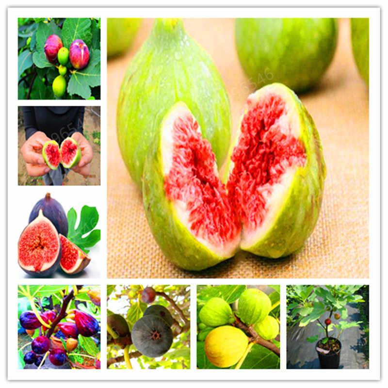 200 Pcs Rare Tropical Fig Bonsai Mini Fig Tree Bonsai Plant Bonsai Rare Fruit Bonsai For Home Planting Germination free shipping