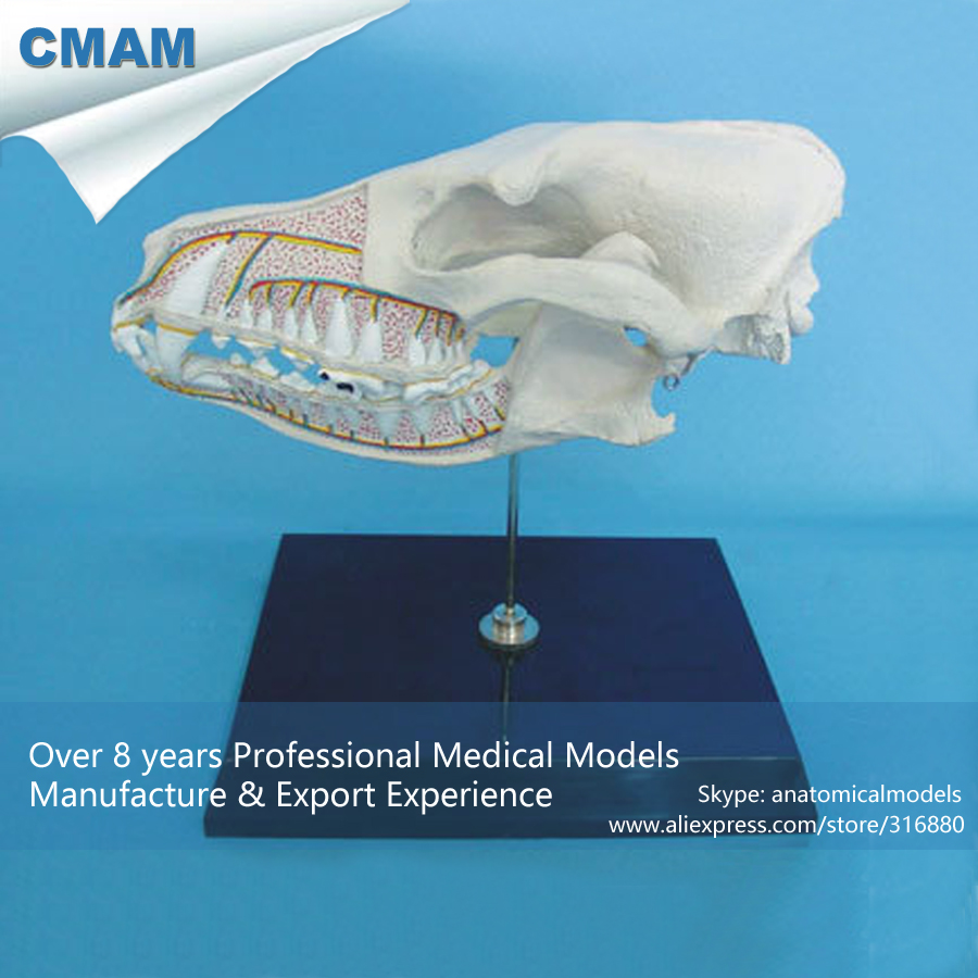 ФОТО CMAM-A14 Anatomical Dog Head / Canine Skull Section Model - Medical Veterinary Anatomy, Animal Skeleton Model