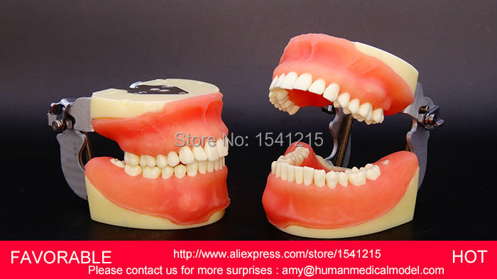 DENTAL TOOTH TEACHING MODEL ORAL MEDICINE PRACTICE TEACHING MODEL,NATOMIACL TOOTH MODELS,MOUTH ORAL CARE MODEL,-GASEN-DEN0013 teeth model tooth models mouth oral care brushing teaching study model adult standard multifunction dental care gasen den002