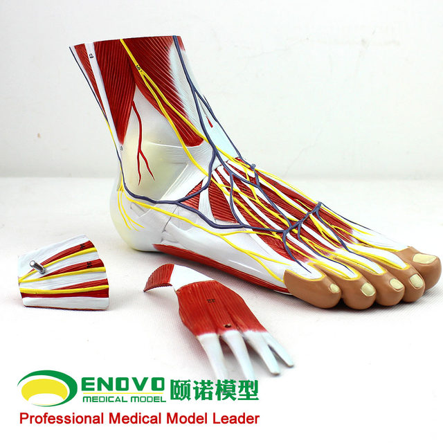 Online Shop Acupuncture Ankle Foot Ankle Joint Anatomy Of The Foot