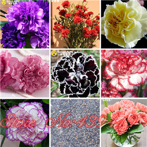 16 colors available carnation seeds balcony potted courtyard garden plants seed dianthus caryophyllus flower seed - Carnation Flower Colors