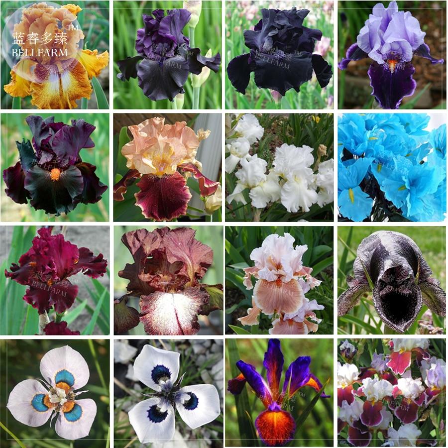 Bellfarm Mixed 25 Types Iris Tectorum Black Yellow Purple White Ect