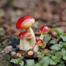 Миниатюрный маленький гриб, красный топ, сказочные Садовые принадлежности украшения для террариума