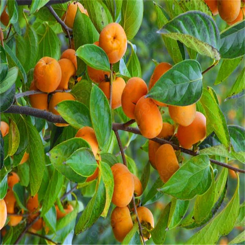 20 Pcs Cachi Bonsai Esotico Bonsai Bello Delizioso Diospyros Kaki di Frutta Albero di Piante Giardino di Casa Frutta Bonsai pianta In Vaso