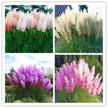hot Hot ! 1000 pcs new Pampas Grass Seeds Cortaderia rare grass seeds for  DIY home garden plant, high germination