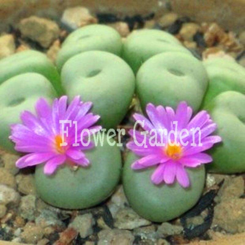 100 semillas/paquete flor púrpura piedra maceta semillas sala de ...