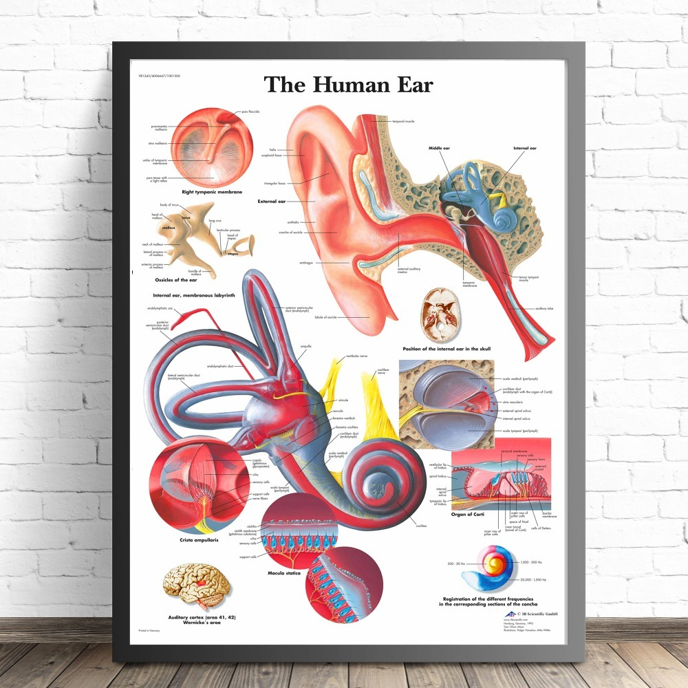 Human Organs Anatomy Chart Canvas Prints Modern Painting Posters Wall Art Pictures For Living Room Decoration No Frame in Painting Calligraphy from Home Garden