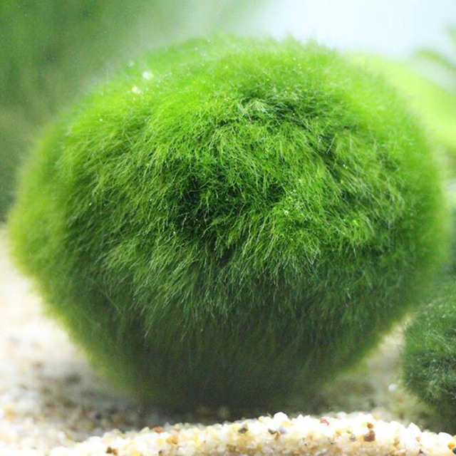 Green Algae Ball Aquarium Landscaping Decoration Real Water Gr Seed Plants Live Seaweed Lazy