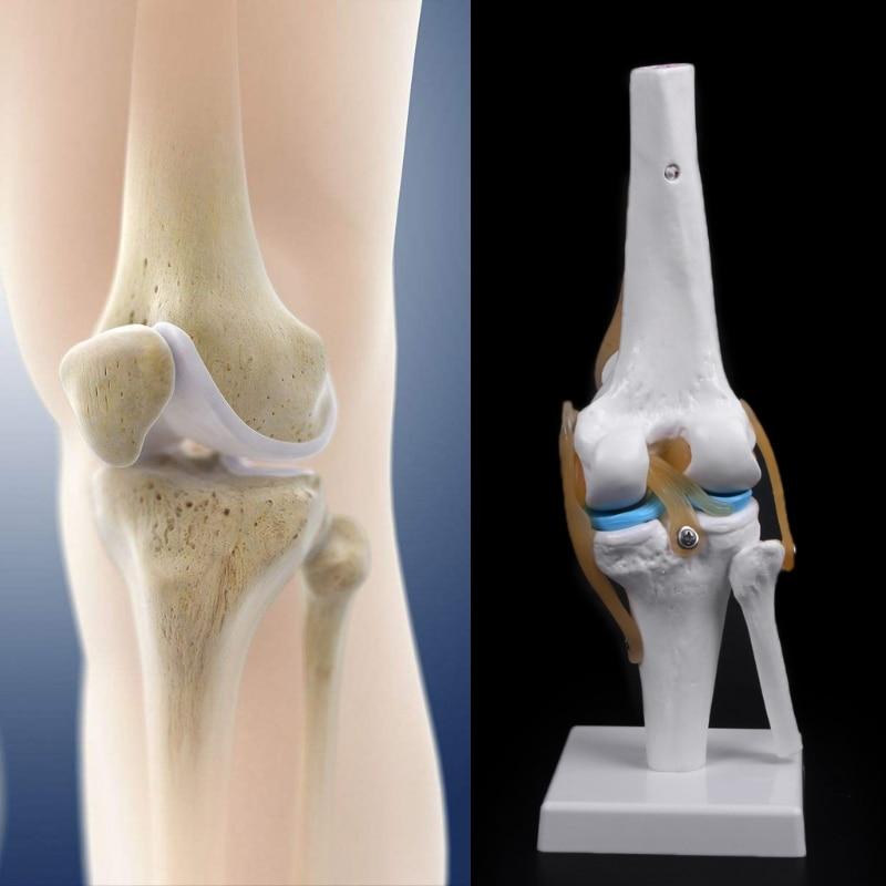 Human Anatomical Knee Joint Flexible Skeleton Model Medical Learning Aid Anatomy