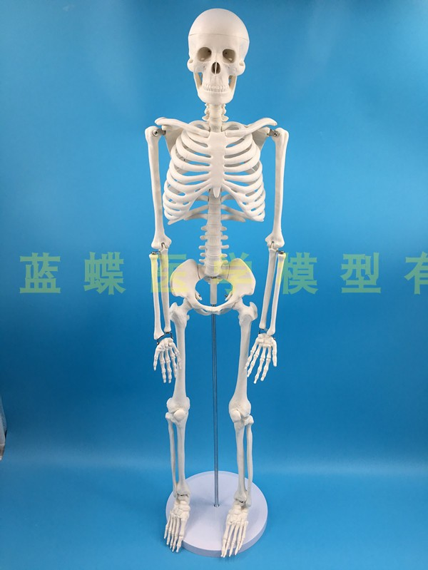 Image 2 - 85cm skeleton model human model with muscle spine nerve system 