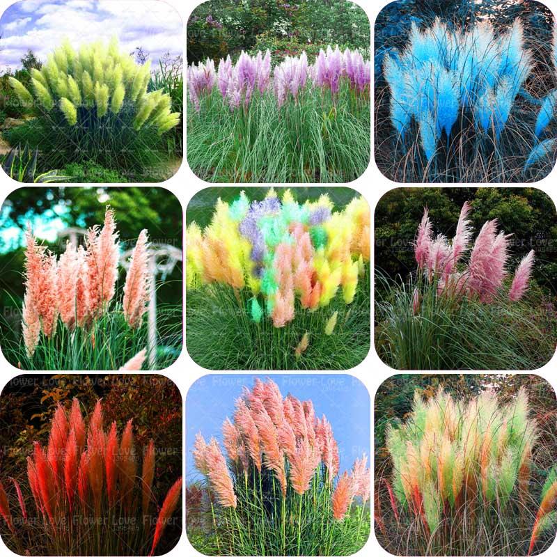Cheap 500pcs bag colorful colorful pampas grass for Colorful decorative grasses