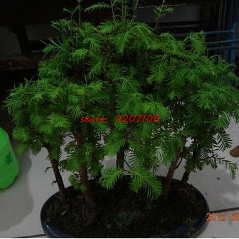 77d0231917 Free shipping New 2017 hot summer 100% Water cedar bonsais bonsailing pots  Bonsai garden plants 100/bag-in Bonsai from Home & Garden on Aliexpress.com  ...