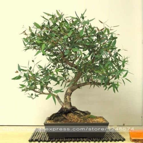 50 sztuk Eucalyptus camaldulensis Dehnh rzeki czerwonej gumy doniczkowy krajobraz rośliny Bonsai DIY do przydomowego ogrodu